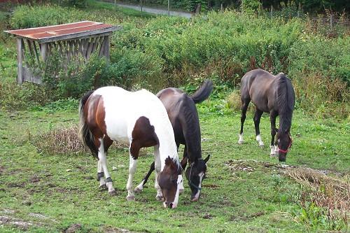 hest spiser møkk